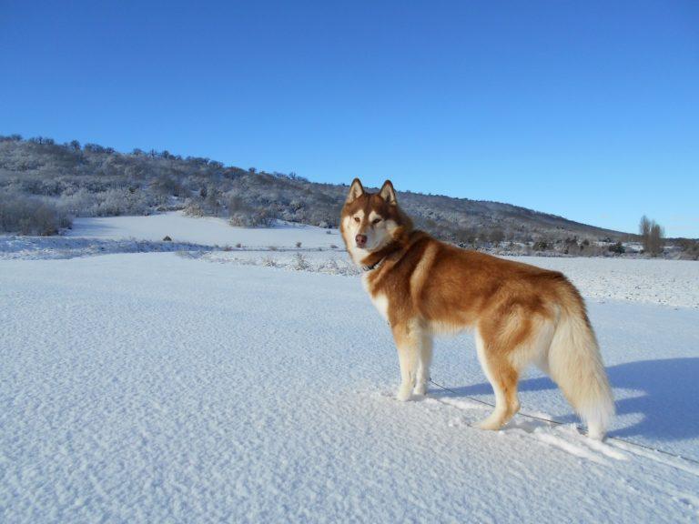 Siberian Husky Hundefutter